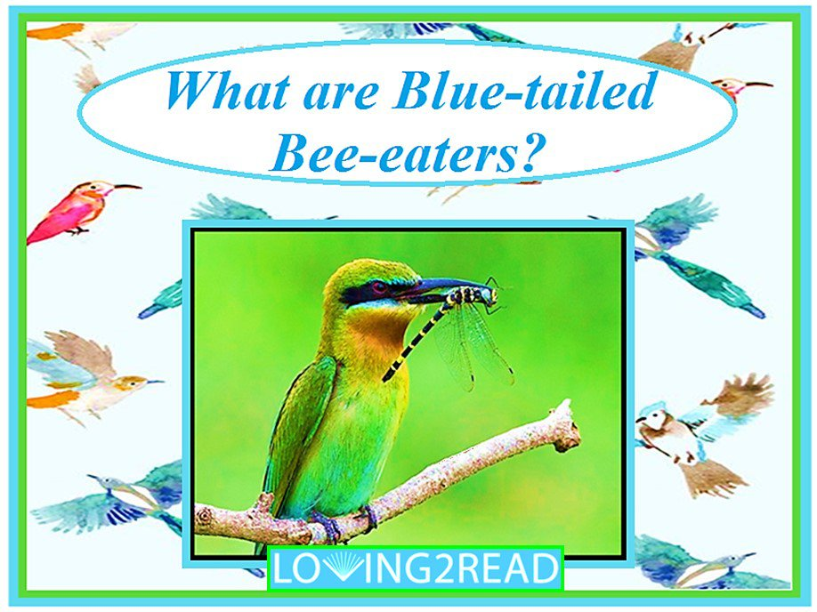 What are Blue-tailed Bee-eaters?
